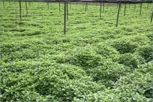 field-mint-leaves-1048536