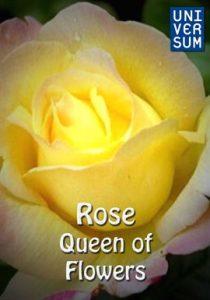 Rose - Queen of Flowers